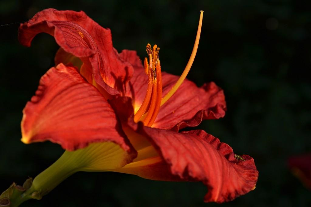 reddaylily