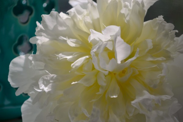 white peony closeup