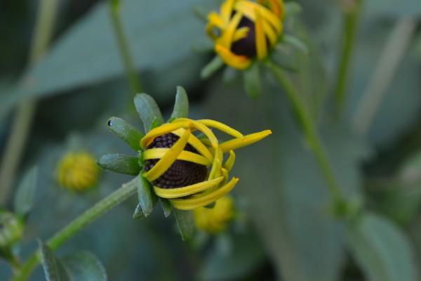 daisy unfurling 3