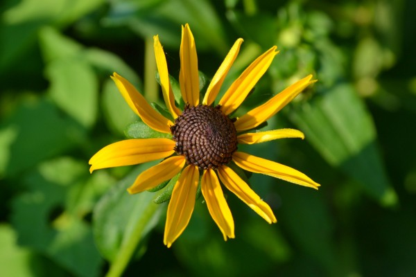 unfurled daisy