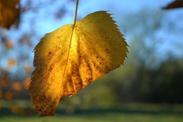 half yellow leaf