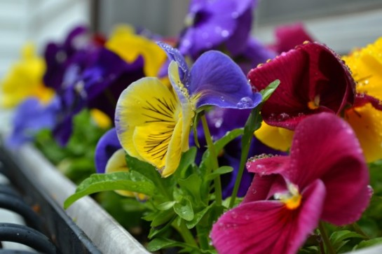 pansies in windowbox